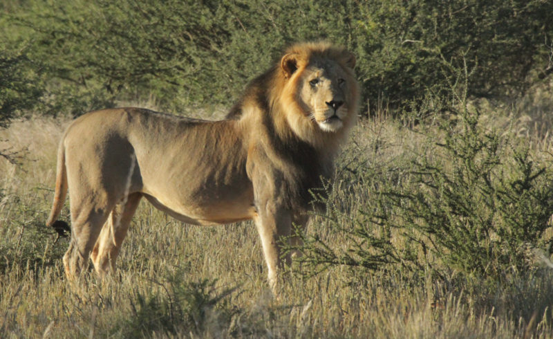 Incredible Footage – Lion brothers battle it out in the Kalahari